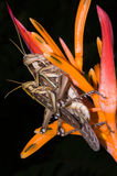 Grasshoppers πηγαίνουν στην αναπαραγωγή στο λουλούδι Στοκ φωτογραφίες με δικαίωμα ελεύθερης χρήσης