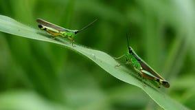 Grasshoppers στο φύλλο απόθεμα βίντεο