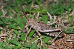 grasshoppers της Αφρικής η νότια τοξι&kap στοκ φωτογραφία με δικαίωμα ελεύθερης χρήσης