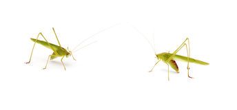 Free Grasshoppers Royalty Free Stock Photo - 15444265