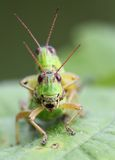 Grasshoppers Stock Photos
