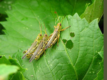 Grasshoppers Stock Images