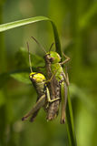 Grasshoppers. Two grasshoppers  in the sunshine Stock Image