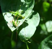Grasshoppers Stock Photography