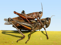 Grasshoppers Royalty Free Stock Photos
