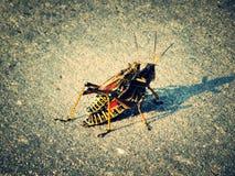 grasshoppers fotografia stock