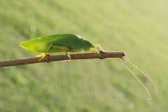 grasshoppers fotografie stock