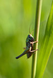 grasshoppers immagine stock