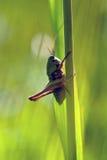 grasshoppers fotografie stock libere da diritti