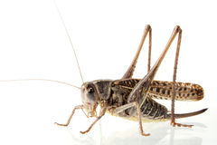 Grasshoppers Royalty Free Stock Photo