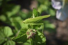 grasshoppers Στοκ φωτογραφία με δικαίωμα ελεύθερης χρήσης