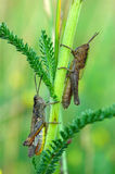 Grasshoppers. Picture of two grasshoppers in a summer meadow royalty free stock photos