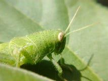 grasshoppers immagine stock libera da diritti