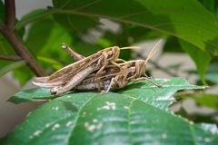 Grasshoppers breeding Royalty Free Stock Photos