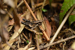 Grasshoppers in camouflage Stock Image