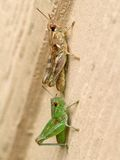 Grasshoppers - close up Stock Images