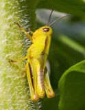 Grasshoppers - close up Stock Photography