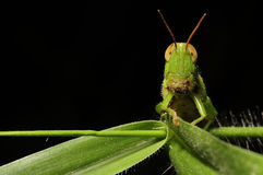 Grasshoppers Royalty Free Stock Images