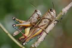 Free Grasshoppers Couple Stock Images - 7384884