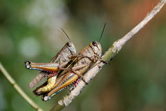 Grasshoppers couple. In private moment close up Stock Photo