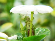 Grasshoppers are covering their umbrellas with leaves