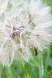 Grasshoppers in a Dandelion Royalty Free Stock Images