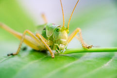 Grasshoppers eating on a green leaf closeup Royalty Free Stock Images