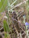Grasshoppers Stock Photos