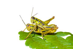 Grasshoppers on leaf 3 Stock Photos
