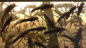Grasshoppers Stock Photo