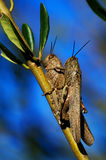 Grasshoppers mating Royalty Free Stock Photography
