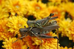Grasshoppers mating Stock Images
