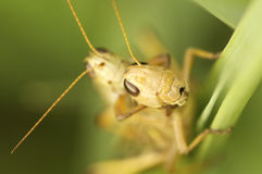 Grasshoppers mating on green grass.  Stock Images