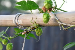 Grasshoppers mating on hop vines Royalty Free Stock Photo