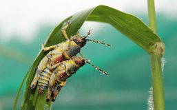 Grasshoppers mating Stock Photography