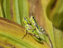 Grasshoppers mating Stock Photos