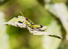 Grasshoppers Of Mexico. Royalty Free Stock Photos