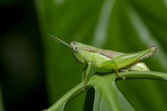 Free Grasshoppers On Green Leaves In Nature Stock Image - 141489371