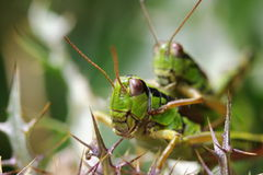Grasshoppers portrait Stock Image