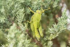 Grasshoppers remaining in a plant, Acrididae Royalty Free Stock Images