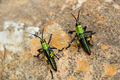 Grasshoppers on a rock. Royalty Free Stock Photos
