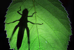 Grasshoppers shadow Stock Photography