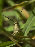 Grasshoppers stare. A photo of a generic grasshopper staring at the camera Stock Photo