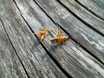Grasshoppers on a trunk Royalty Free Stock Photo