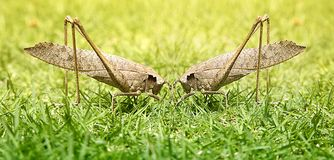 Grasshoppers, two males fighting for the championship, macro. Grasshoppers, two males fighting for supremacy, competition and cannibalism in a beautiful Royalty Free Stock Images