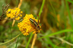 Grasshopper on yellow wild flower Stock Image