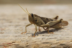 Grasshoppers on wooden plate Royalty Free Stock Photo
