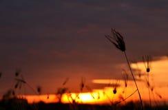 Grassilhouet bij Zonsondergang Royalty-vrije Stock Afbeelding
