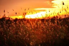 Grassilhouet bij Zonsondergang Stock Afbeeldingen