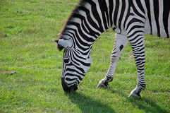 Grassing close-up Zebra in the wild Africas green nature. Stock Photos